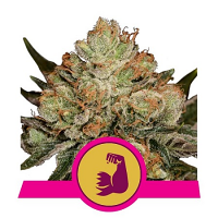 Royal Queen Seeds HulkBerry Feminized