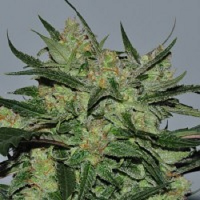 Reeferman Seeds Orange Peako Cambodian Regular