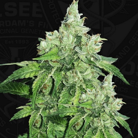 T.H.Seeds Citron Givré (Birthday Cake Selected) Feminized
