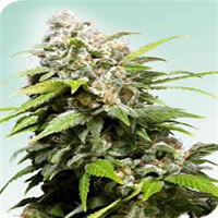 Sensi Seeds California Indica Regular