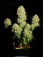 Serious Seeds Chronic Feminized