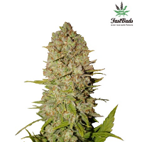 Pineapple Express Auto – Feminized – Fast Buds