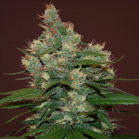 Cream of The Crop Seeds Sour Turbo Diesel Feminized
