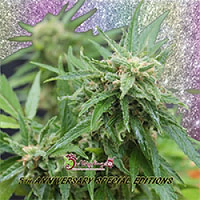 Dr Krippling Seeds Blue Tease Auto Feminized (PICK N MIX)