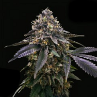 T.H.Seeds Gelato 33 x French Cookies a.k.a. French Macaron Feminized