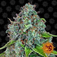 Barney's Farm Seeds Strawberry Lemonade Feminized
