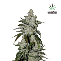 Girl Scout Cookies Auto – Feminized – Fast Buds