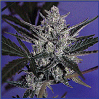 Big Buddha Seeds Auto Blue Cheese Feminized