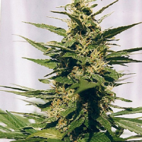 Spliff Seeds Polm Gold Outdoor Semi-Auto Feminised (Gold)