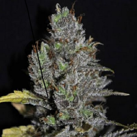 VIP Seeds Viagrra Feminised (PICK N MIX)