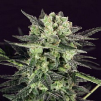 T.H.Seeds MK-Ultra Kush Auto Feminized
