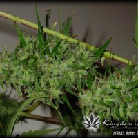 Reeferman Seeds Bohdi Sativa Regular