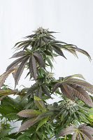 Dinafem Seeds Bubba Kush CBD Feminized (PICK N MIX)