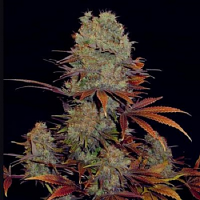 VIP Seeds Landysh Feminized
