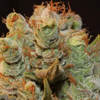 T.H.Seeds MK-Ultra Kush x Bubble Feminized