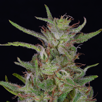 Big Head Seeds Tangie Feminized