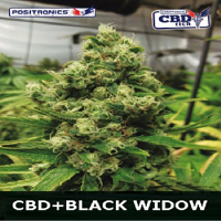 Positronics Seeds CBD Black Widow Feminized (PICK N MIX)