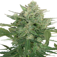 Seedmakers Seeds Low Dwarf Auto Feminized