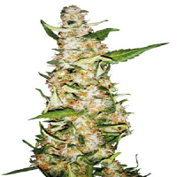 Bulk Seeds Automatic Original Skunk #1 Feminized