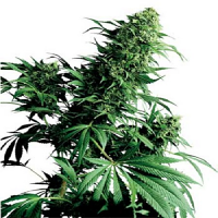 Sensi Seeds Shiva Shanti Regular