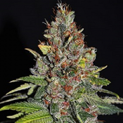 Tropical Punch - Feminized - G13 Labs