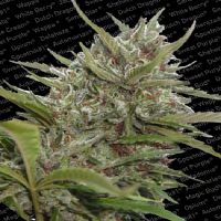 Paradise Seeds Auto Whiteberry Feminized