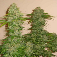DNA Genetics Seeds GYO Collection Rock Lock Feminized