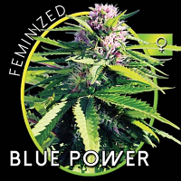 Vision Seeds Blue Power Feminized