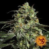 Barney's Farm Seeds Peyote Cookies Feminized