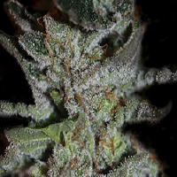 Kera Seeds LA Widow Feminised (PICK N MIX)