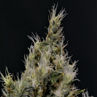 CBD Seeds Vanilla Haze Feminized