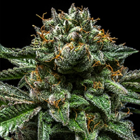 Ripper Seeds Chempie Feminized (PICK N MIX)