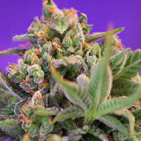 Sweet Seeds  Sweet Cheese Feminized