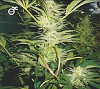 Medical Seeds White Widow Feminized PICK N MIX