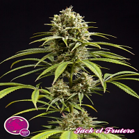 Philosopher Seeds Jack El Frutero Feminized