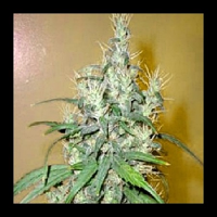 Next Generation Seeds Romulan Cheese Regular