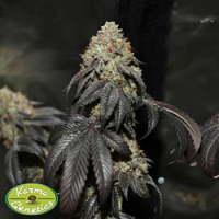 Karma Genetics Seeds Skullcap Regular