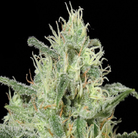 Kera Seeds Critical Auto Feminized