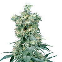 Sensi Seeds  American Dream Regular