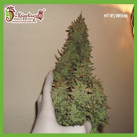 Dr Krippling Seeds Smokin' Gun Auto Feminized