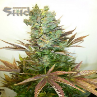 Flash Seeds Stitch's Love Potion Auto Feminised