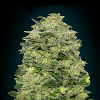 Advanced Seeds Auto Afghan Skunk Feminised (PICK N MIX)