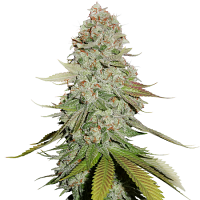 Seed Stockers Seeds Sticky Monkey GG#4 Feminized