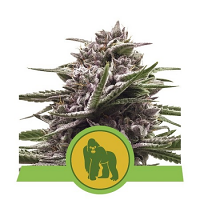 Royal Queen Seeds Royal Gorilla Automatic Feminized