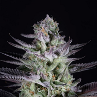 Blueberry Cookies - Feminized - Dinafem Seeds (PICK N MIX)