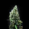 BlimBurn Seeds Tijuana Feminized