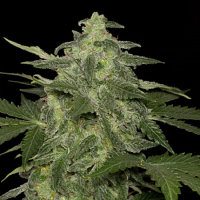 Black Skull Seeds Auto Diesel Matic Feminized