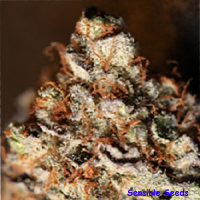 Sin City Seeds SinMint Cookies Regular