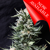 Cream of the Crop Seeds Bruce the Russian Feminized