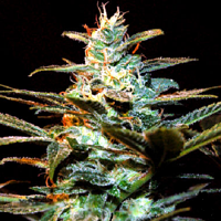 Sweet Seeds Ice Cool Feminized